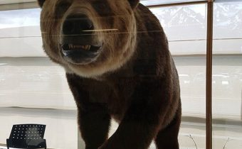 Grizzly Bears - Smithers Airport